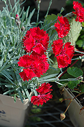 Fire Star Pinks (Dianthus 'Devon Xera') at Tagawa Gardens