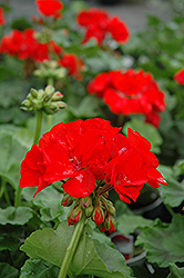 Rocky Mountain Red Geranium (Pelargonium 'Rocky Mountain Red') at Tagawa Gardens