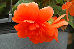 Nonstop Orange Begonia (Begonia 'Nonstop Orange') at Tagawa Gardens