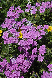 Superbena® Large Lilac Blue Verbena (Verbena 'Superbena Large Lilac Blue') at Tagawa Gardens