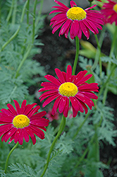 Robinson's Red Painted Daisy (Tanacetum coccineum 'Robinson's Red') at Tagawa Gardens