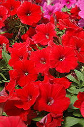 Potunia Plus Red Petunia (Petunia 'Potunia Plus Red') at Tagawa Gardens