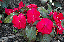 Accent Red Impatiens (Impatiens walleriana 'Accent Red') at Tagawa Gardens