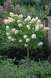 Limelight Hydrangea (tree form) (Hydrangea paniculata 'Limelight (tree form)') at Tagawa Gardens