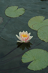 Comanche Hardy Water Lily (Nymphaea 'Comanche') at Tagawa Gardens