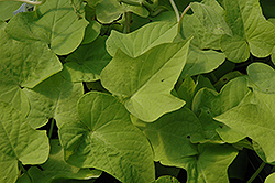 Sweet Georgia® Light Green Sweet Potato Vine (Ipomoea batatas 'Sweet Georgia Light Green') at Tagawa Gardens