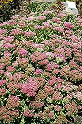 Brilliant Stonecrop (Sedum spectabile 'Brilliant') at Tagawa Gardens