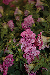 Surfinia® Summer Double Pink Petunia (Petunia 'Surfinia Summer Double Pink') at Tagawa Gardens