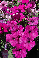 Easy Wave® Plum Pudding Mix Petunia (Petunia 'Easy Wave Plum Pudding Mix') at Tagawa Gardens