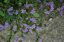 New Wonder Fan Flower (Scaevola aemula 'New Wonder') at Tagawa Gardens