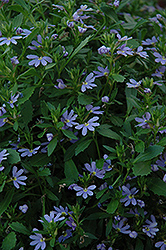 Blue Print Fan Flower (Scaevola aemula 'Blue Print') at Tagawa Gardens