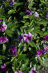 First Kiss Blueberry Vinca (Catharanthus roseus 'First Kiss Blueberry') at Tagawa Gardens