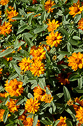 Profusion Double Golden Zinnia (Zinnia 'Profusion Double Golden') at Tagawa Gardens