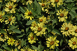 Zahara® Yellow Zinnia (Zinnia 'Zahara Yellow') at Tagawa Gardens