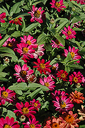 Profusion Cherry Zinnia (Zinnia 'Profusion Cherry') at Tagawa Gardens
