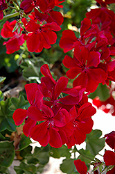 Precision Ruby Ivy Leaf Geranium (Pelargonium peltatum 'Precision Ruby') at Tagawa Gardens