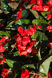 Whopper Red with Green Leaf Begonia (Begonia 'Whopper Red Green Leaf') at Tagawa Gardens