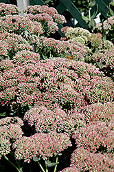 Autumn Fire Stonecrop (Sedum spectabile 'Autumn Fire') at Tagawa Gardens