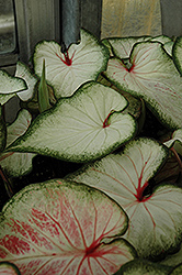 White Wonder Caladium (Caladium 'White Wonder') at Tagawa Gardens