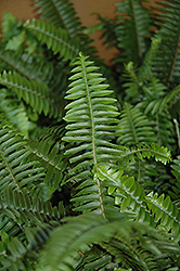 Kimberly Queen Fern (Nephrolepis obliterata) at Tagawa Gardens
