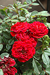 Red Sunblaze® Rose (Rosa 'Meirutral') at Tagawa Gardens