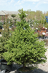 North Star Spruce (Picea glauca 'North Star') at Tagawa Gardens