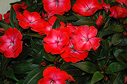 Infinity® Electric Coral New Guinea Impatiens (Impatiens hawkeri 'Infinity Electric Coral') at Tagawa Gardens