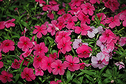 Phloxy Lady Hot Pink Annual Phlox (Phlox 'Phloxy Lady Hot Pink') at Tagawa Gardens