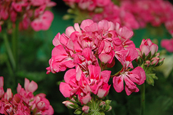 Patriot Tickled Pink Geranium (Pelargonium 'Patriot Tickled Pink') at Tagawa Gardens