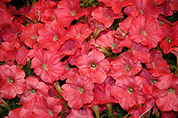 Easy Wave® Coral Reef Petunia (Petunia 'Easy Wave Coral Reef') at Tagawa Gardens