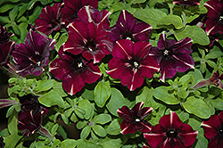 Sweetunia Raspberry Superstar Petunia (Petunia 'Sweetunia Raspberry Superstar') at Tagawa Gardens