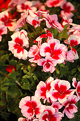 Americana® Rose Mega Splash Geranium (Pelargonium 'Americana Rose Mega Splash') at Tagawa Gardens