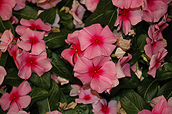 Cora® Cascade Strawberry Vinca (Catharanthus roseus 'Cora Cascade Strawberry') at Tagawa Gardens