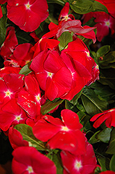 Nirvana Red Vinca (Catharanthus roseus 'Nirvana Red') at Tagawa Gardens