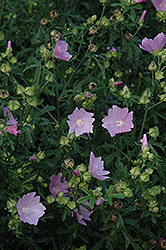 Party Girl Prairie Mallow (Sidalcea 'Party Girl') at Tagawa Gardens