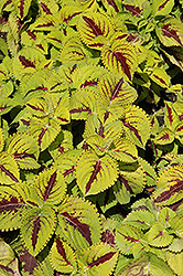 Kong Jr. Lime Vein Coleus (Solenostemon scutellarioides 'Kong Jr. Lime Vein') at Tagawa Gardens