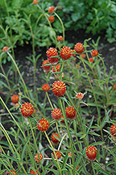 Qis Orange Gomphrena (Gomphrena 'Qis Orange') at Tagawa Gardens