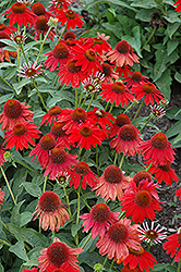 Sombrero Salsa Red Coneflower (Echinacea 'Balsomsed') at Tagawa Gardens