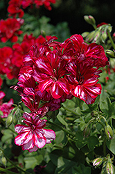 Precision Burgundy Ice Ivy Leaf Geranium (Pelargonium peltatum 'Precision Burgundy Ice') at Tagawa Gardens
