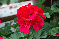 Rocky Mountain Magenta Geranium (Pelargonium 'Rocky Mountain Magenta') at Tagawa Gardens