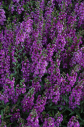 Serena® Purple Angelonia (Angelonia angustifolia 'Serena Purple') at Tagawa Gardens