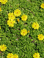 Yellow Ice Plant (Delosperma nubigenum) at Tagawa Gardens