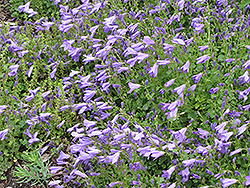 Birch Hybrid Bellflower (Campanula 'Birch Hybrid') at Tagawa Gardens