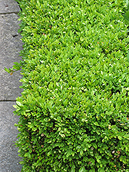 Green Velvet Boxwood (Buxus 'Green Velvet') at Tagawa Gardens