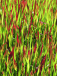 Red Baron Japanese Blood Grass (Imperata cylindrica 'Red Baron') at Tagawa Gardens