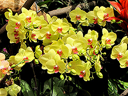 Yellow Gown Orchid (Phalaenopsis 'Yellow Gown') at Tagawa Gardens