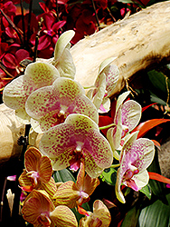 Freckles Orchid (Phalaenopsis 'Freckles') at Tagawa Gardens