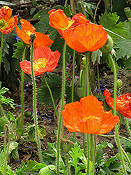 Iceland Poppy (Papaver nudicaule) at Tagawa Gardens