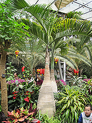 Bottle Palm (Hyophorbe lagenicaulis) at Tagawa Gardens