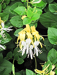 Hall's Japanese Honeysuckle (Lonicera japonica 'Halliana') at Tagawa Gardens